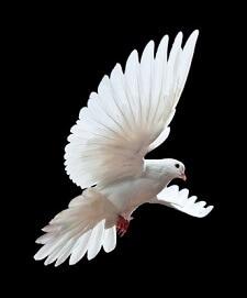 Dove (2)